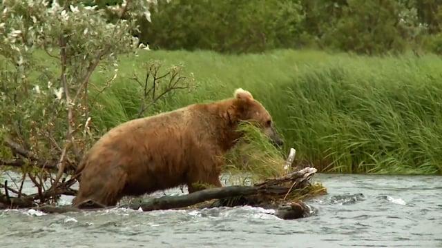 ak-bears