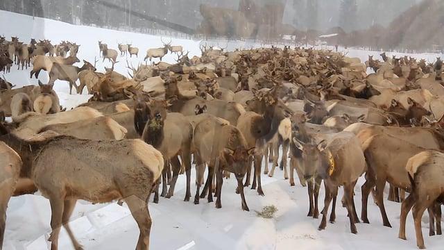 bridger-nf-elk-feeding